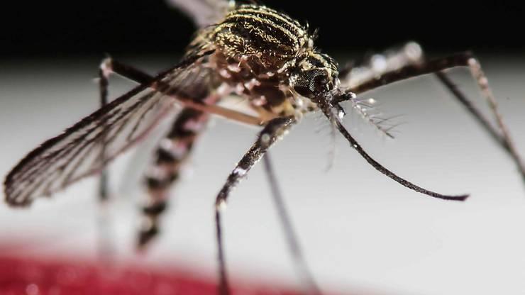 Auch das Das Zika-Virus wird durch Stiche der Tigermücken übertragen.
