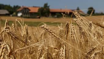 Getreidefeld bei Lüterkofen