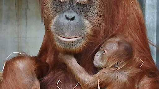 Ungeplanter Nachwuchs bei den Orang-Utans