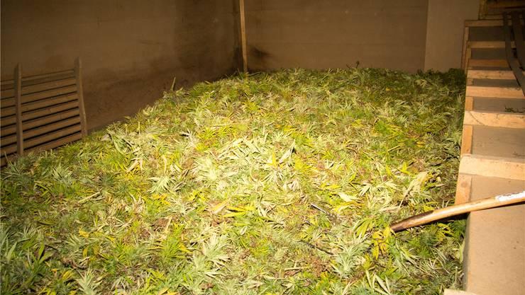 Die Grünanteile der Pflanze müssen für einige Wochen getrocknet werden, bevor man sie weiterverarbeiten kann.