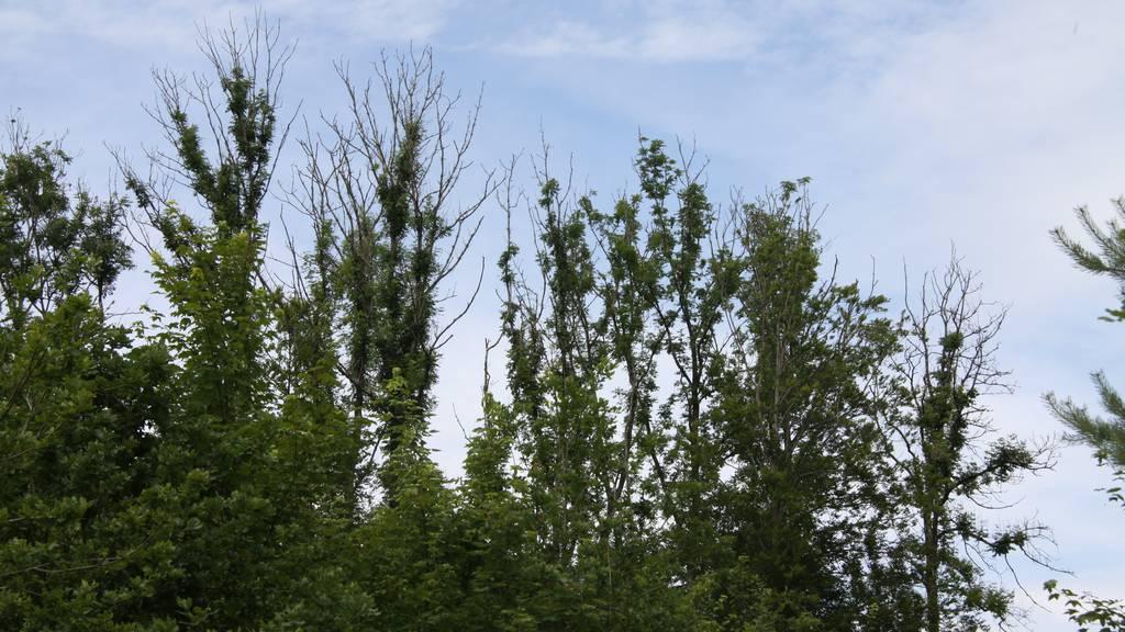 Von Eschenwelke befallene Bäume, zuerst fallen die Blätter, dann die Äste.