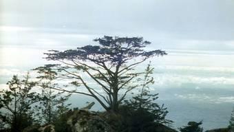 Widdringtonia whytei auf dem Mulanje-Massiv in Malawi.