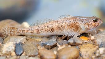 Der Fisch des Jahres 2014 kann eigentlich gar nicht schwimmen. Ausschlag für die Ehrung war, dass das Vorkommen der Groppe ein Zeichen für gute Wasserqualität ist.