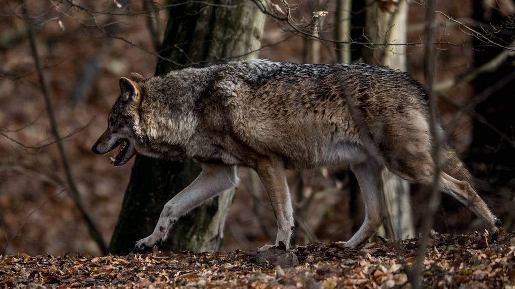 Wolfsalarm im Kanton Schwyz ausgelöst nach möglicher Wolfssichtung