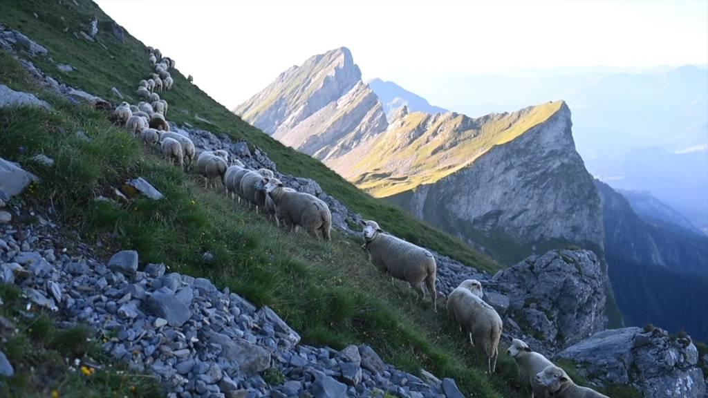 1300 Schafe wandern über Stock und Stein