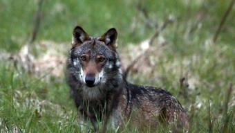 Der Wolf ist zurück im Kanton Luzern. Erstmals seit mehreren Jahren ist es im Kanton Luzern zu einem bestätigten Wolfsriss gekommen. (Archivbild)