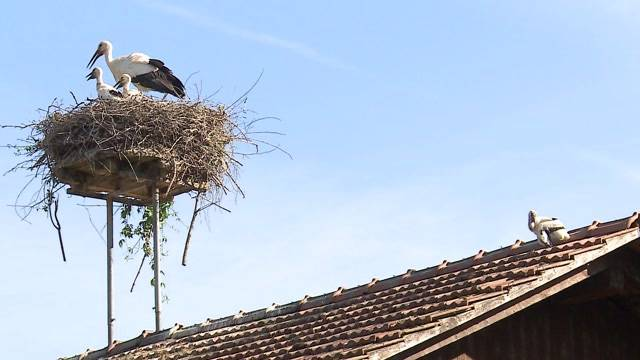 Ausgestossenes Storchenbaby in Altreu wird der Natur überlassen. Der hilflose Jungvogel wurde von seiner Mutter aus dem Nest verstossen und muss hungrig auf einem Hausdach in Altreu ausharren. Das Storchenzentrum entschliesst sich gegen eine Rettung und hat das Tier einschläfern lassen.