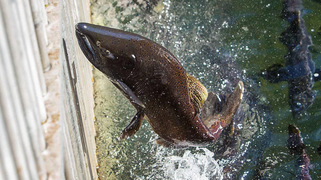 Wilder Lachs in Oregon. (Archiv) Die US-Lebensmittelaufsicht hat genetisch veränderten Lachs zum Verzehr freigegeben. Zahlreiche Verbraucherorganisationen kritisieren die Entscheidung.