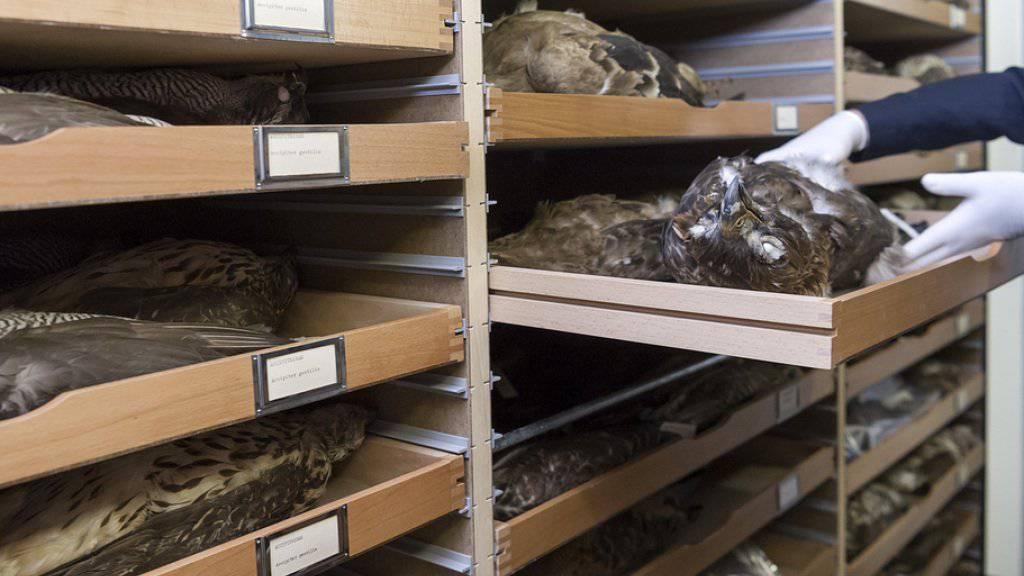 Bälge in einer Schublade der Greifvogel-Sammlung im Magazin des Naturhistorischen Museums Basel - hier hatte sich ein privater Sammler von Greifvogelfedern frech bedient und hohen Schaden hinterlassen.