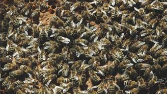 Bienen, auf dem Symbolbild in der Wabe, schwärmen auch mal in Scharen aus. az