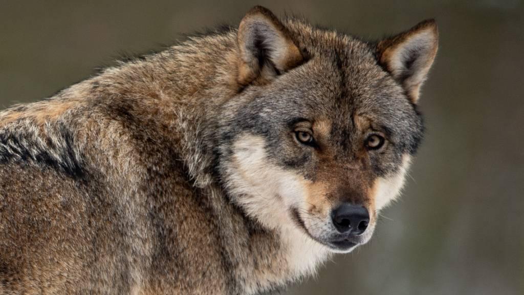 Existenz von Wolf im Kanton Jura bestätigt
