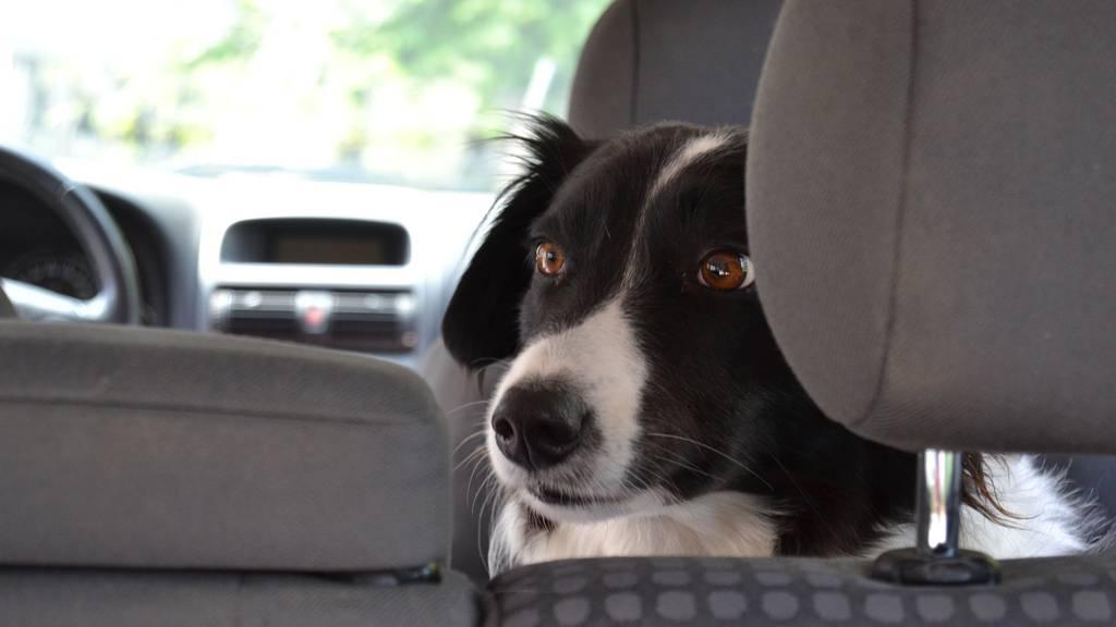 Hund, Auto, Hitze, Sommerhitze