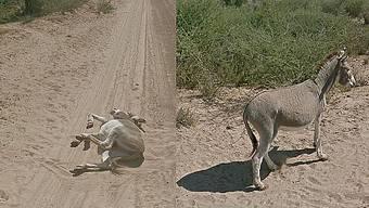 Zuerst lag der Esel auf der unbefestigten Strasse, bevor er auf dem zweiten Bild wieder auf allen Vieren stand