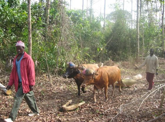 Holzrücken mit Ochsen: eine Form nachhaltiger Waldbewirtschaftung.