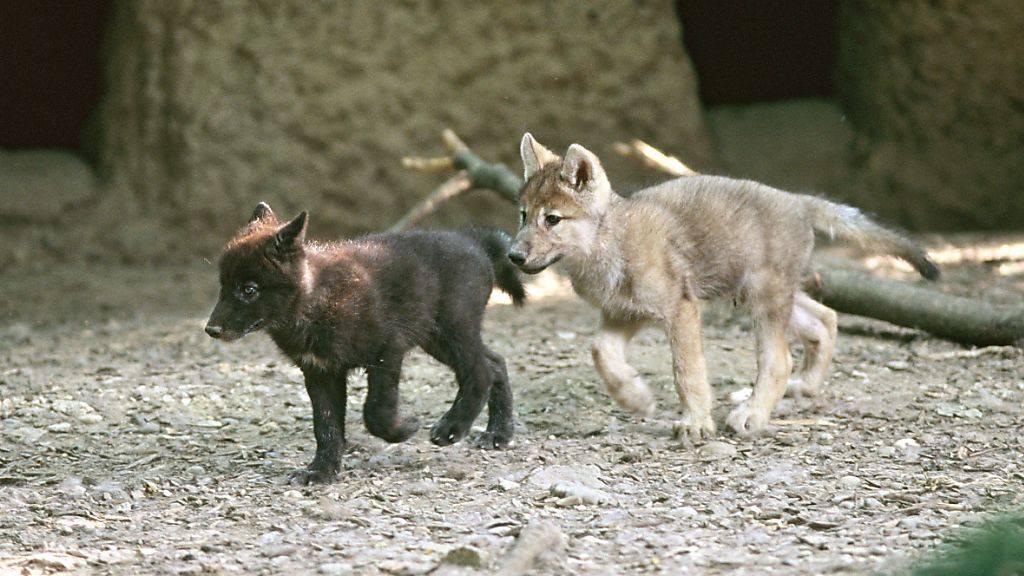 Wölfe haben im Basler «Zolli» ausgeheult