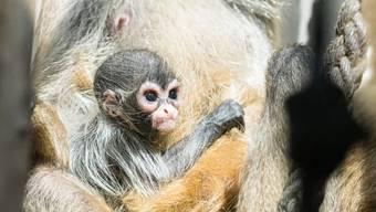 Zoo Basel, Nachwuchs bei Klammeraffen und Somali-Wildesel