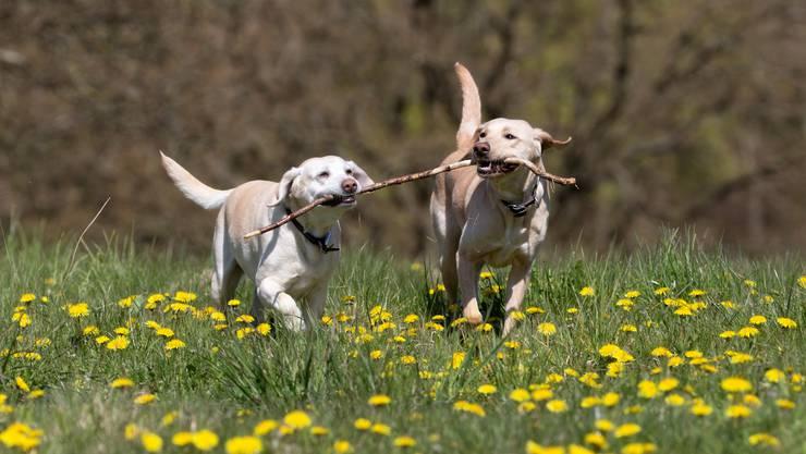 Das sind die beliebtesten Hunderassen im Fricktal: Labrador, ...