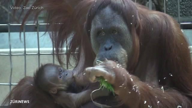 Pandai, das neue Herz des Zoo Zürich
