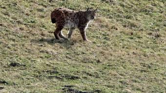 Der Luchs kehrte in Bärschwil auf die Weide zurück, wo er Stunden zuvor ein Schaf getötet hatte.