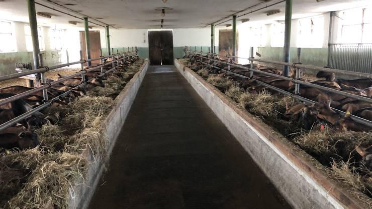 145 Ziegen mussten im Puschlaver Betrieb wegen der Erkrankung an Paratuberkolose getötet und entsorgt werden.