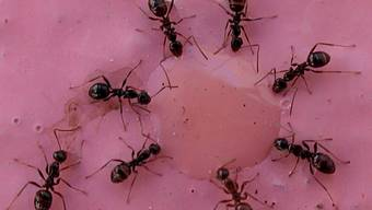 Ameisen sind nur eine von rund 100 Arten von Gliederfüsslern, die in Wohnungen vorkommen. Die meisten bleiben jedoch unbemerkt. (Archiv)