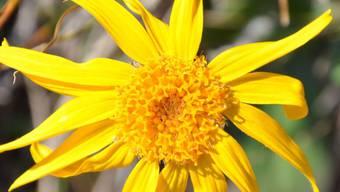 Die Arnika ist eine der Pflanzen, die sich durch die Klimaerwärmung zu Gipfelstürmern entwickelt haben.