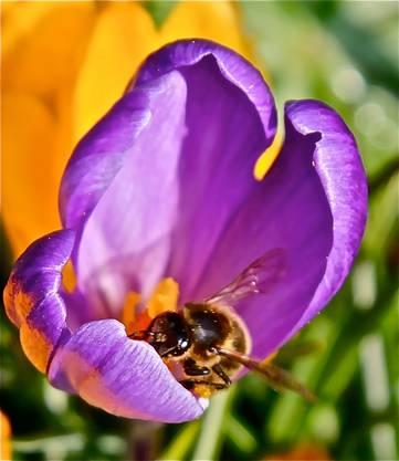 Auch die Bienen spüren den Frühling (Leserbild Andreas Petrin)
