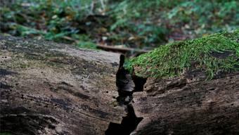 Auf dem Bettlachstock liegt ein Waldreservat. Darin wird der Wald sich selbst überlassen.