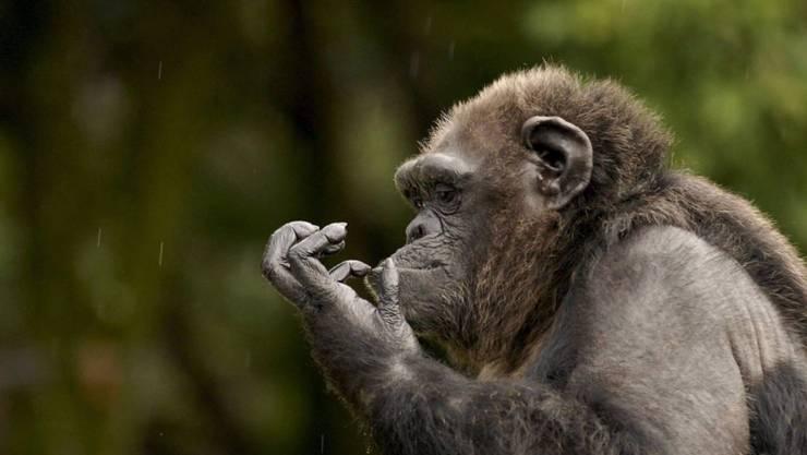 Schimpansen haben eine erstaunlich vielfältige Nahrungspalette. Auch Krabben stehen auf dem Speiseplan. (Archivbild)