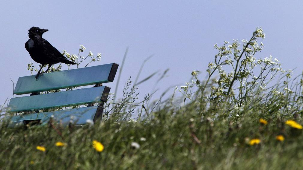 Eine Krähe beschädigt im Toggenburg eine Freileitung.