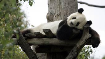 Der Panda Long Hui starb während einer Krebsuntersuchung.