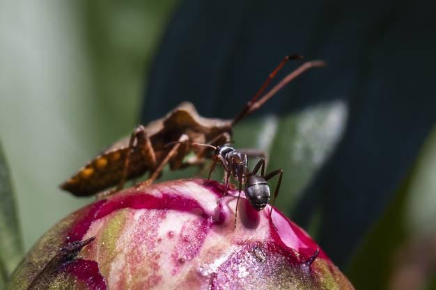 Ameise trifft Stinkkäfer auf einer Blumenknospe