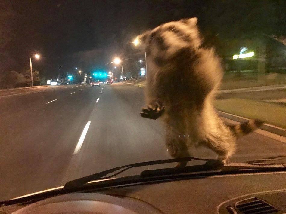 Ein Waschbär auf dem Auto (© Facebook/Colorado Springs Police Departement)