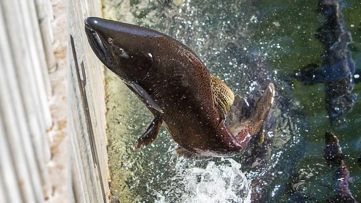Gerade der Bau von Fisch-Abgängen lässt sich nur schwer realisieren. (Archivbild)