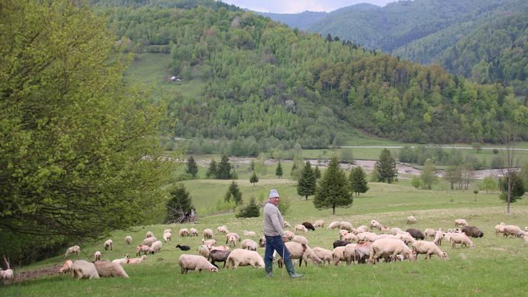 Ein Schäfer bewacht seine Herde. Bild: Win Schumacher