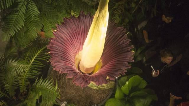 Die blühende Titanwurz im Botanischen Garten Basel (Archiv)
