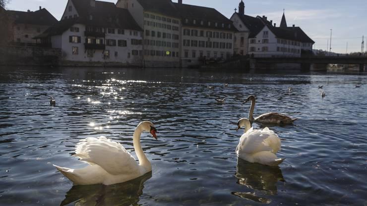 Ein Vorzeigepaar: das Schwanenpaar von Solothurn.