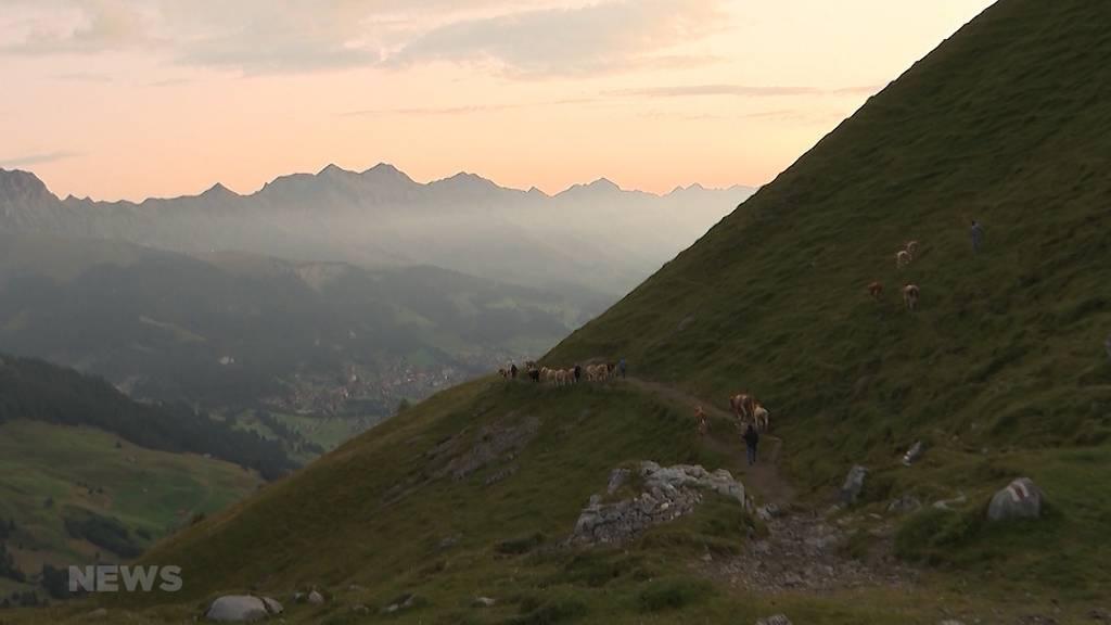 Beeindruckender Alpabzug: 500 Kühe steigen Felswand hinunter