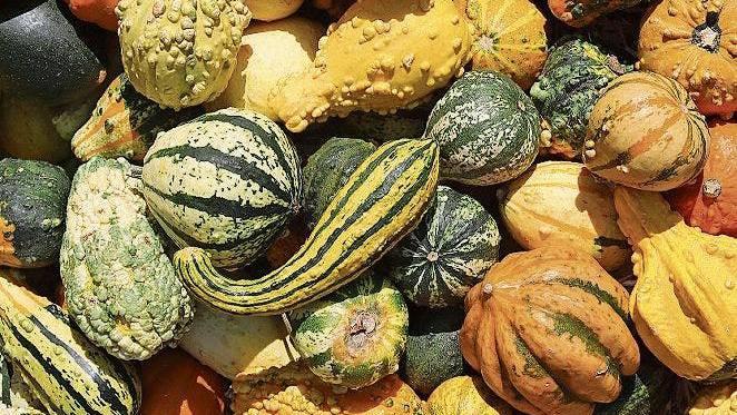 Aus vermischter Saat: Kürbisse in allen Farben und Formen.