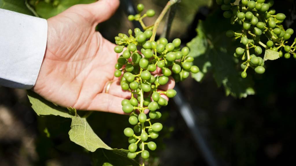 Johannes Rösti, Leiter der Neuenburger Weinbaustation in Auvernier, kontrolliert die Qualität der Trauben. (Archivbild)