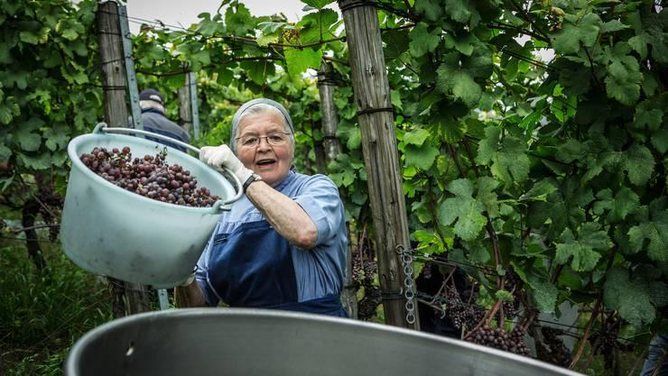 Schwester Petra wümmt auch mit ihren 82 Jahren noch fleissig wie eh und je im klostereigenen Rebberg in Weiningen.