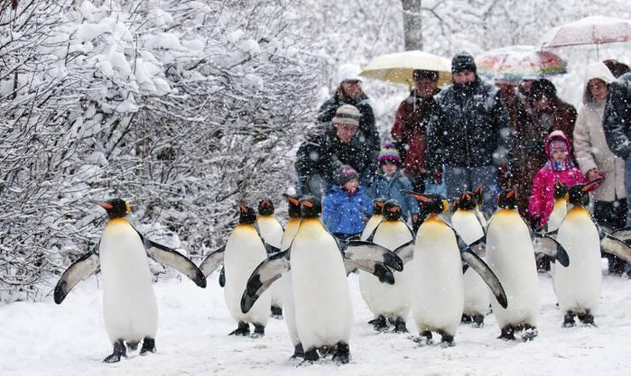 Pinguinparade: Im Schnee besonders schön.