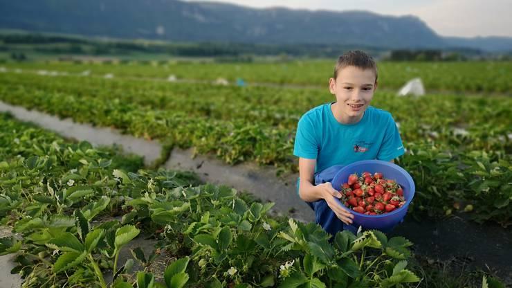 Luca Dietschi aus Selzach hat bereits die ersten Erdbeeren auf den Feldern von Mann Beerenkulturen gepflückt.