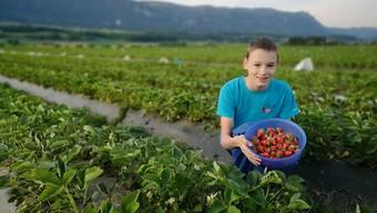 Erdbeeren sind zwei Wochen früher reif: Mann Beerenkultur Selzach