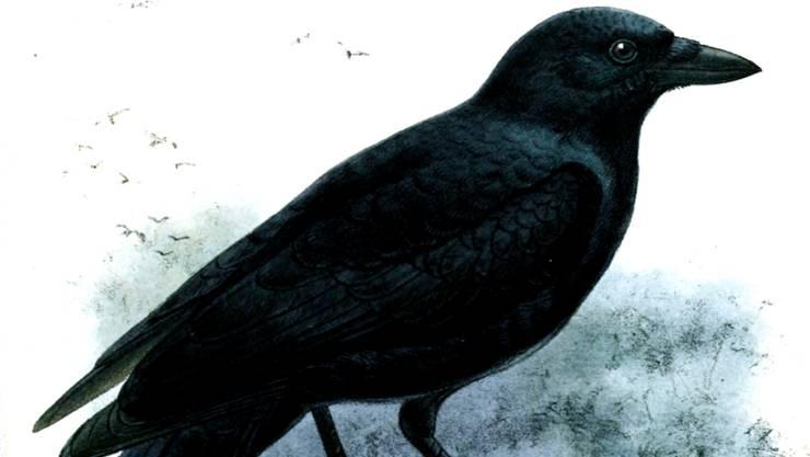 Dass Krähen klug sind, war bekannt. Aber sie können noch immer überraschen: Geradschnabel- oder Neukaledonienkrähen zeigten in einer Studie einen Grad an Vorausplanung, den man bisher nur bei Menschen beobachtet hat. (Zeichnung von John Gerrard Keulemans)