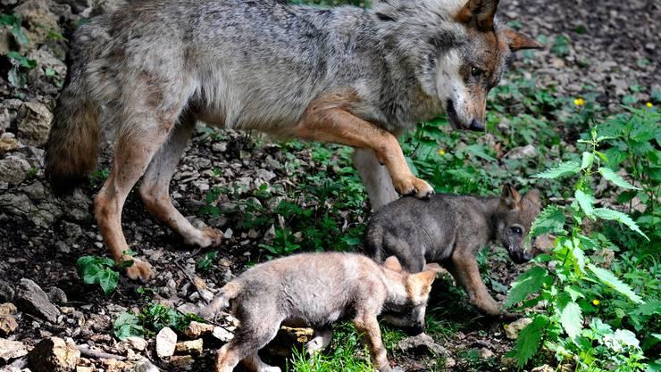 Um den Fortbestand der Alpwirtschaft zu gewährleisten, muss gemäss dem SAV der Wolfbestand reguliert werden.