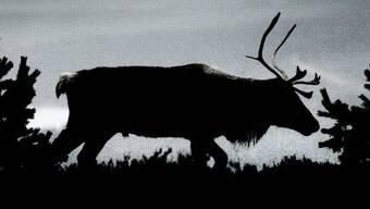 Rentiere und andere arktische Tierarten leiden unter Regenfällen, die auf Schnee folgen (Symbolbild)
