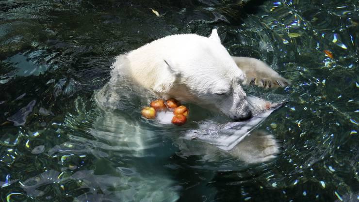 Bei einer Temperatur von 30 Grad ist Eisbär Tongki im Zoo von Seoul froh um eine Abkühlung.