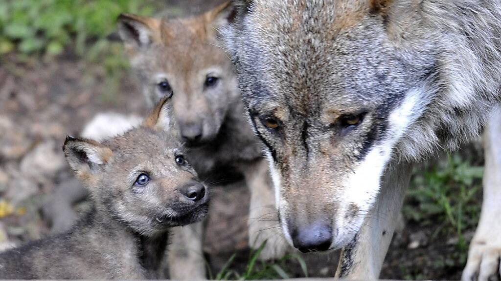 Gruppe Wolf Schweiz: Hohe Wilddichte führt zu hoher Wolfspopulation