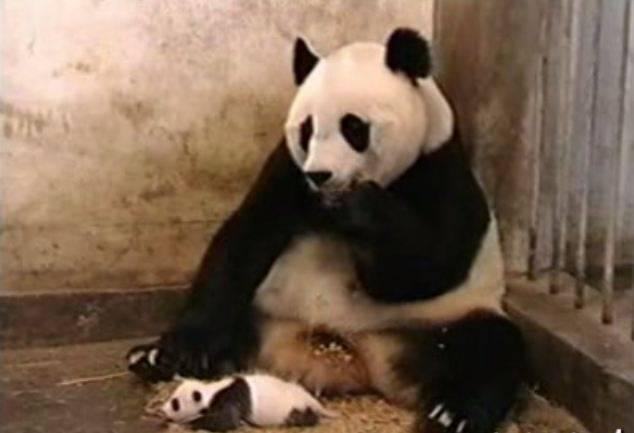 Platz 9: Das niesende Panda-Baby. Trotz seiner 217 Millionen Klicks ist das Tier-Video in der Schweiz weniger beliebt als das Komiker-Duo Divertimento.